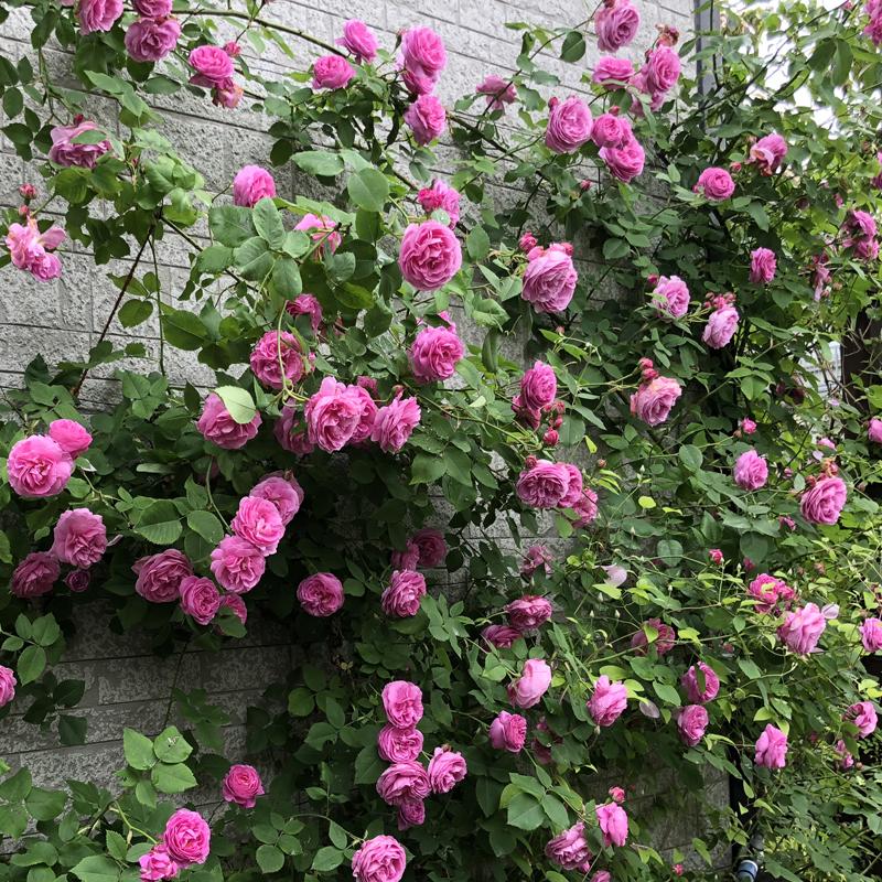 バラと宿根草が競演する庭